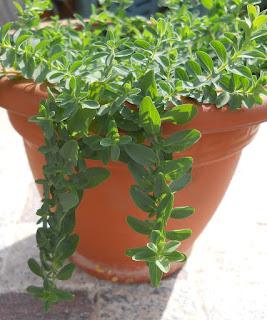 planta medicinal hiperico