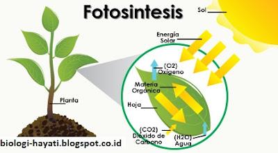 Pengertian, Perbedaan dan Mekanisme Reaksi Terang dan Reaksi Gelap pada Fotosintesis