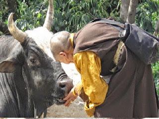 El sabio y la vaca