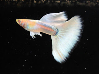 Dunia Ikan Hias - GUPPY FULL PLATINUM