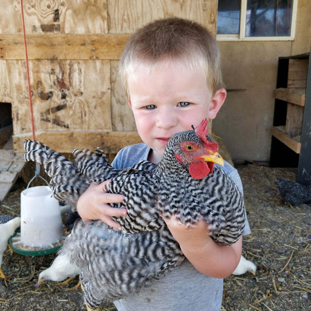 Little boy with Barred Rock Chicken