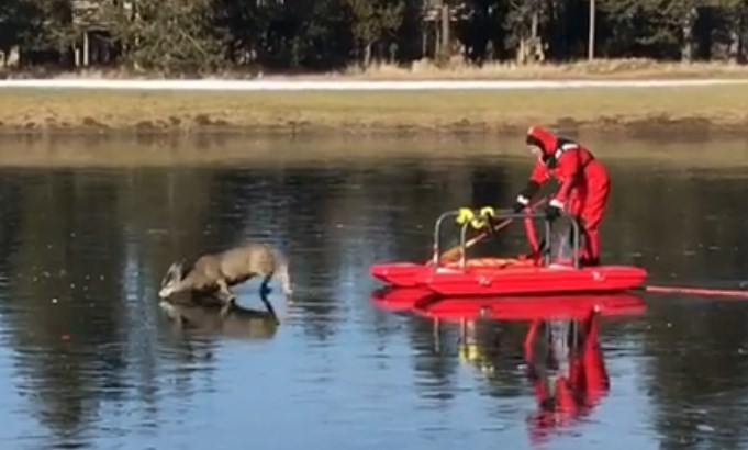 Penyelamatan Seekor Rusa Terjebak Di Air Beku Oleh Pemadam Kebakaran