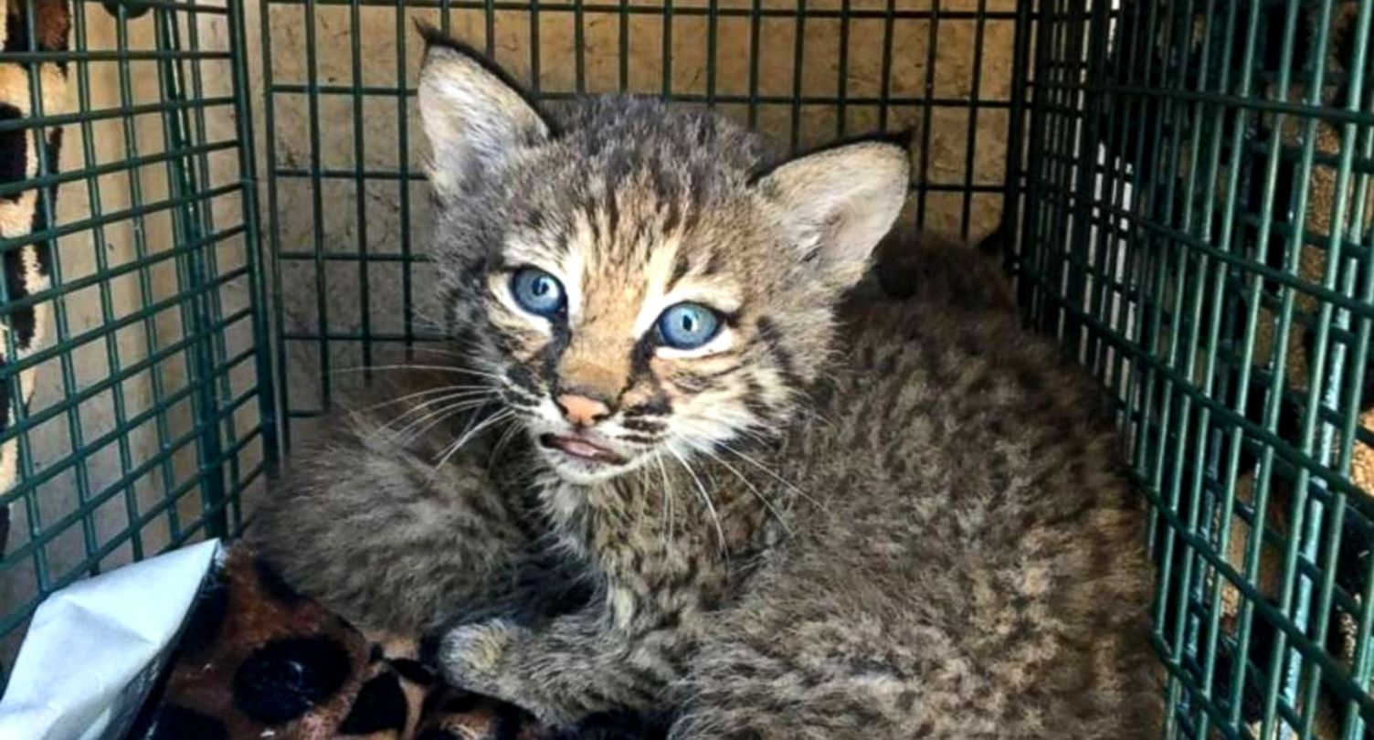 3 injured after handling bobcat kittens they mistook for domestic