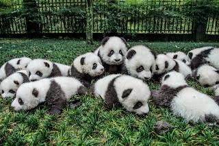 Ciri ciri panda