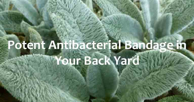 Lamb's Ears: Grow A Potent Antibacterial Bandage In Your Back Yard