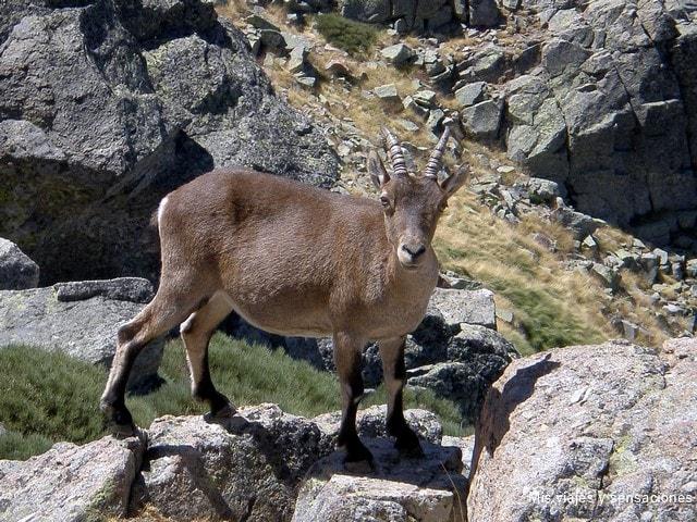 Fauna en la sierra de Gredos, Ávila