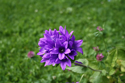 blomma,lilla,råsa,sommar,grönt,sommrigt,