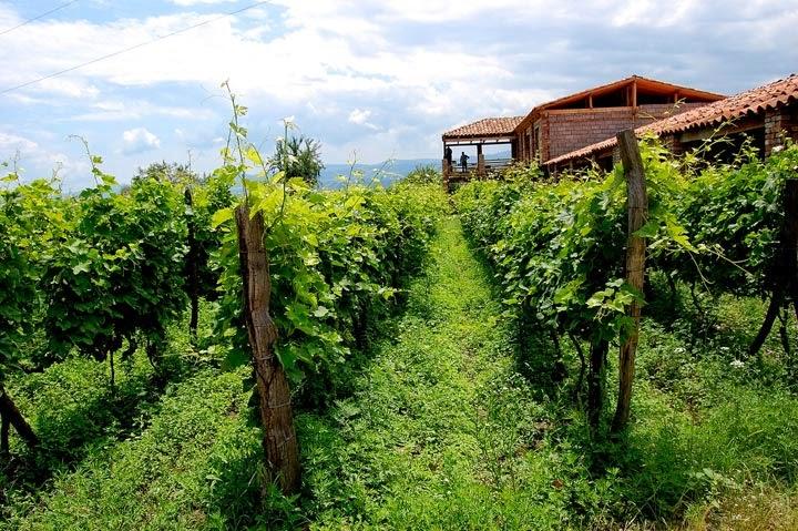 pemangkasan-anggur