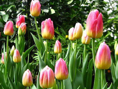Allan Gardens Conservatory Spring Flower Show 2012 pink and yellow tulips by garden muses: a Toronto gardening blog
