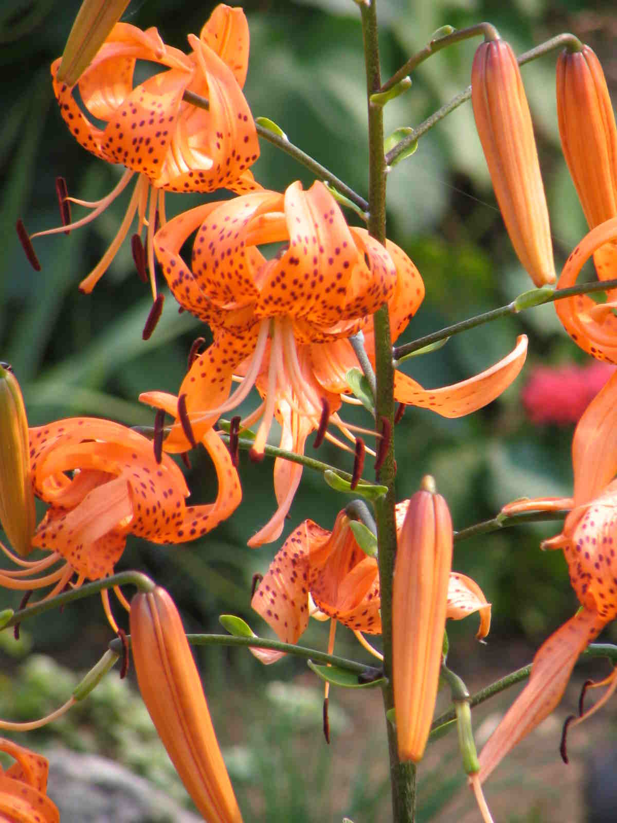 Green Girly: Zone 3 Flowers: Tiger Lily