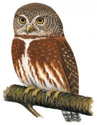 Tamaulipas pygmy Owl