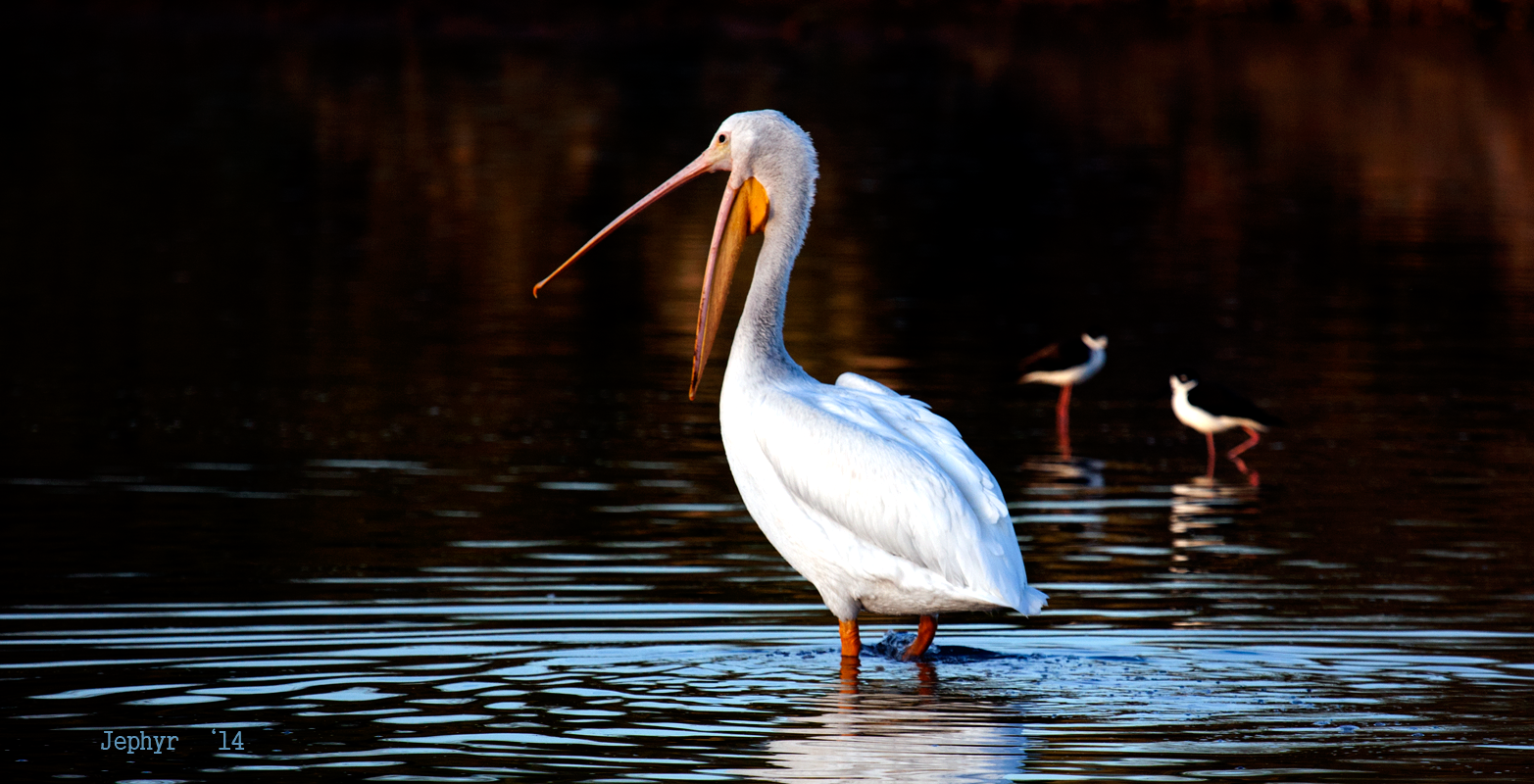 """Preserve Pelican"" - Copyright 2014, Jephyr - All Rights Reserved"