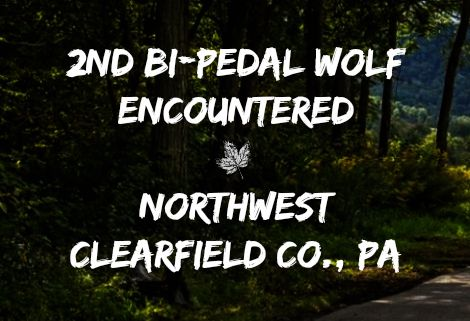 2nd Bi-Pedal Wolf Encountered - Northwest Clearfield Co., PA