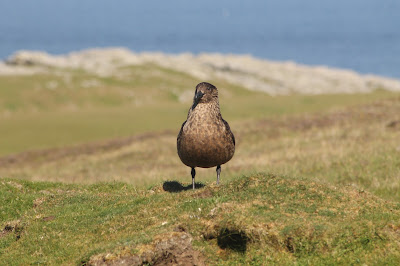Great Skua by Lewis Mitchell