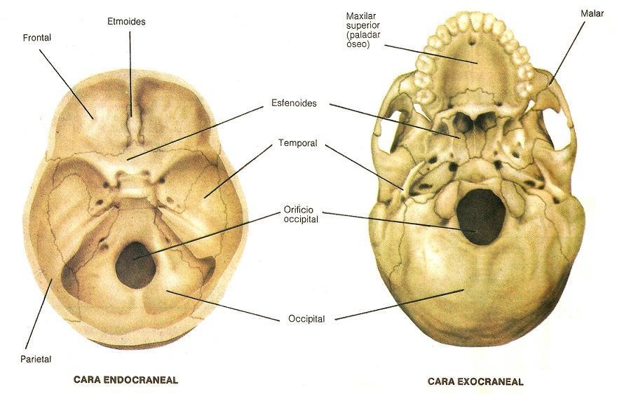 Bonito Interior De La Anatomía Del Cráneo Colección - Anatomía de ...