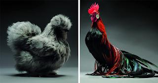 33 φωτογραφίες από τα πιο όμορφα κοτόπουλα στον κόσμο