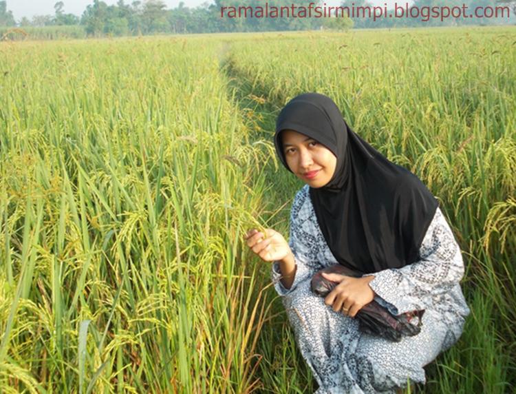 Padi adalah merupakan tanaman yang bijinya menjadi salah satu bahan pokok makanan dan sum 8 Arti Mimpi Lihat Padi di Sawah Menurut Primbon Jawa