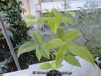 Erythrina crista galli