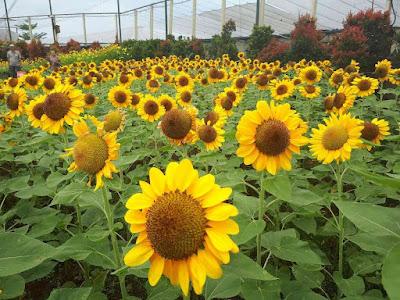 Lokasi Kebun Bunga Matahari Sky Garden Paris Van Java Bandung