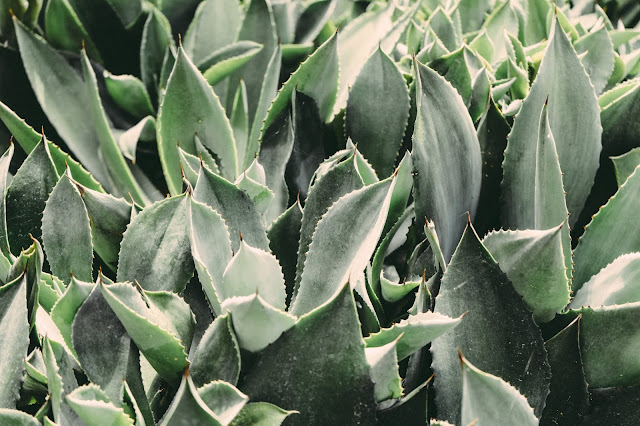 Aloe Vera Side Effects And Benefits