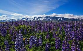 Cloud Mountain Lavender