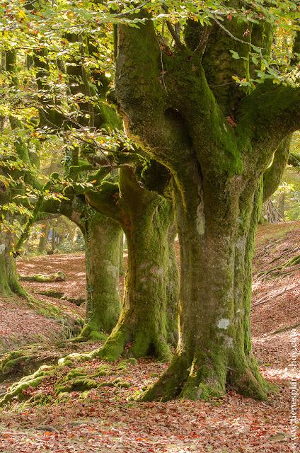 Hayedo de Otzarreta otoño viaje planes paisajes