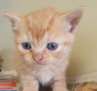 ginger kitten with blue eyes