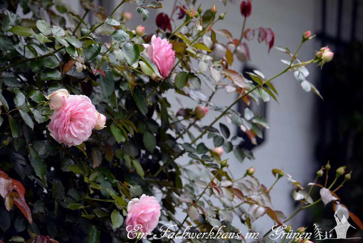 Traumhaft sch ne rosen for Schone gartenbilder