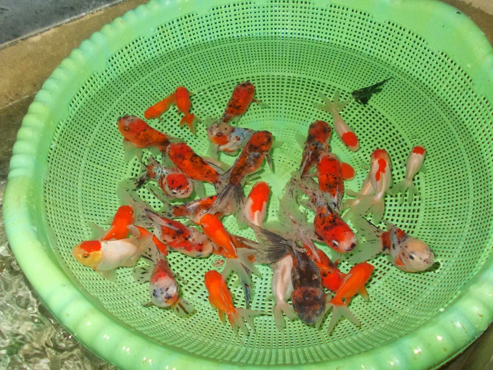 6 Manfaat Memelihara Ikan Hias  BlogNya AQil