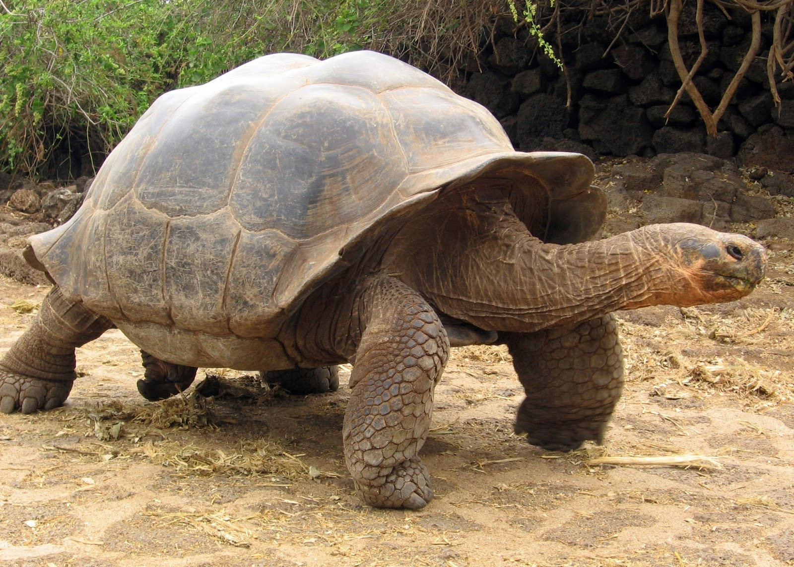 Galapagos Islands: Darwin Inspiration - PRE-TEND Be curious. |Galapagos Tortoise