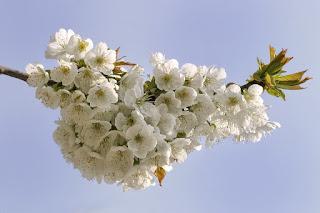 Gambar Bunga Sakura Paling cantik di Jepang 19000