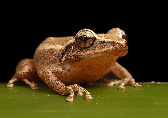 A coqui frog.