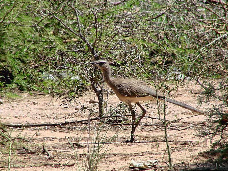 aves corredoras de Argentina Chuña Chunga burmeisteri