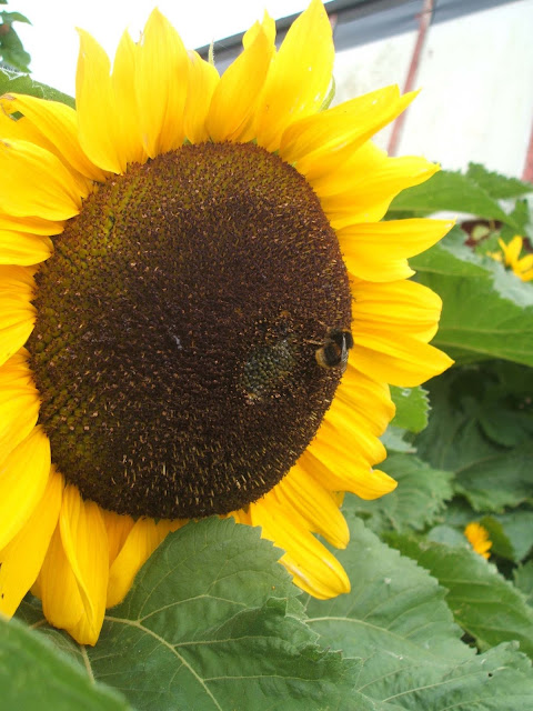 giant sunflowers and pollinating bees
