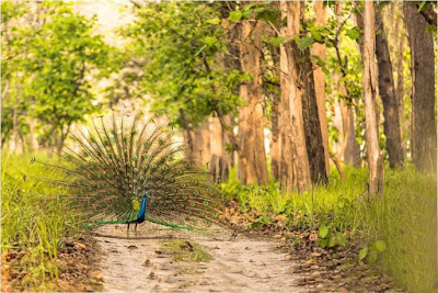 dancing-peacock-in-the-jungle-imgs