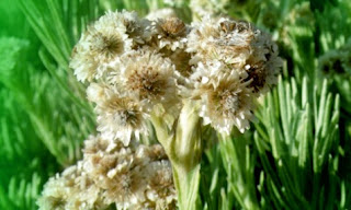 Gambar Bunga Keabadian