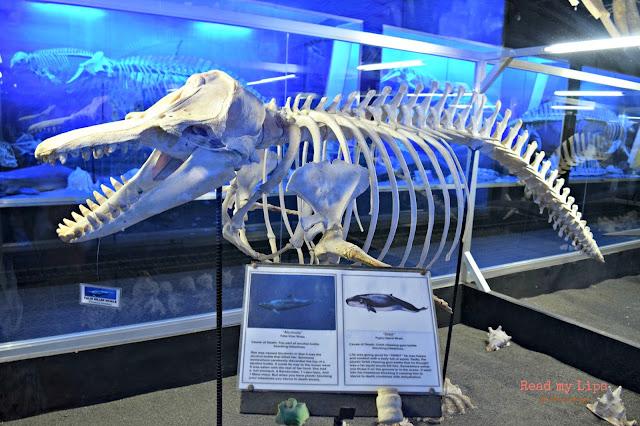 False Killer Whale Bones