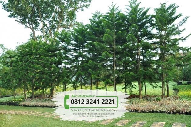 Jual Benih / Biji Pohon Cemara Pentris / Norfolk