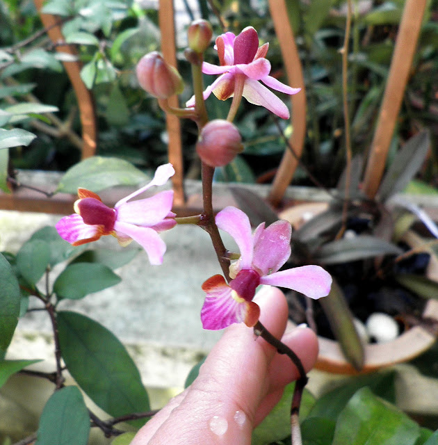 orkid kecil