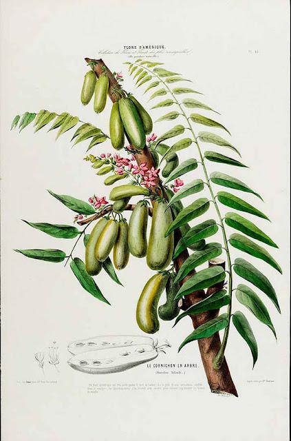 Averrhoa bilimbi, cucamber tree, kuzyn karamboli i starberry - jadalne owoce,jak wygląda, jak rośnie. Nazewnictwo, pochodzenie, historia, opis, uprawa, hodowla, rozmnażanie, podlewanie, podłoże. Mało znane azjatyckie owoce egzotyczne, tropikalne.