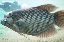 Jenis Ikan Gurame Cepat Besar yang Ada di Indonesia