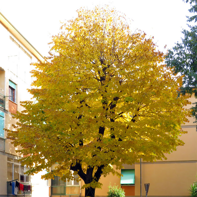 A yellow tree, Via Piemonte, Livorno