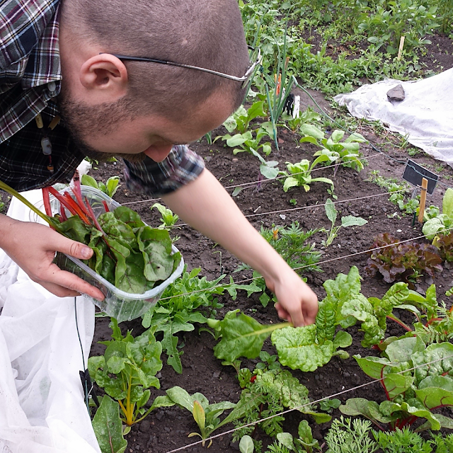 Harvesting Swiss chards from the allotment garden, and reusing a plastic box