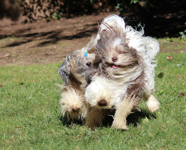 Havanese furry dogs running