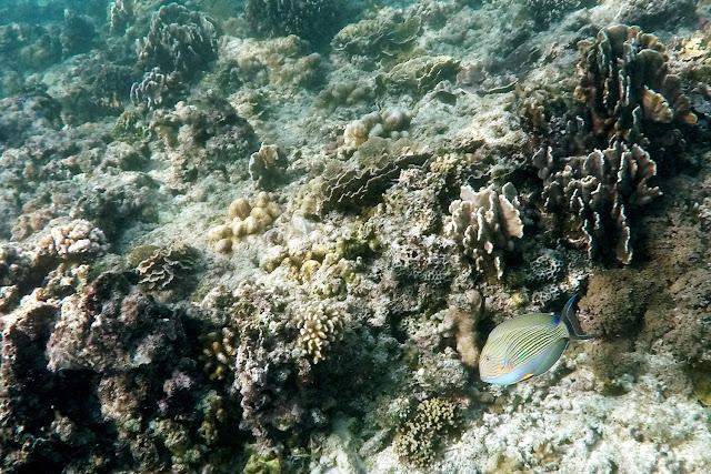 Un pez entre corales en Gili Trawangan
