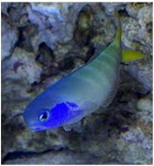 Ikan Laut Hias Aquarium Tilefish