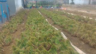 rendy saputra , usaha bawang merah , usaha bawang putih