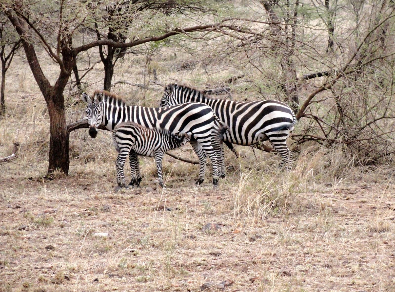 Africa-Safari-Zebra
