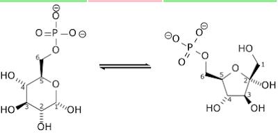 glikolisis glukosa-6fosfat menjadi fruktosa-6-fosfat