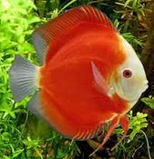 Profil Ikan Hias Diskus jenis ikan hias